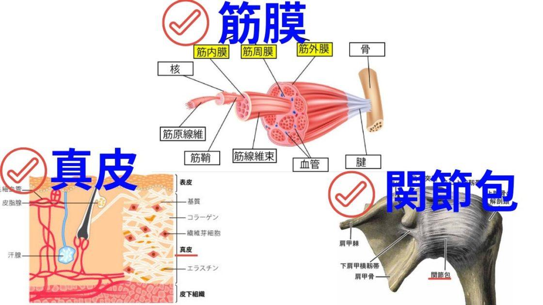 真皮・筋膜・関節包